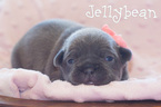 French Bulldog Puppy For Sale in SANDY, UT, USA