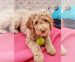Australian Labradoodle Puppy for sale in BROOKLYN, NY, USA
