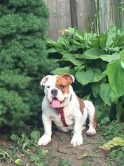 Bulldog Puppy For Sale in MELROSE, MA, USA