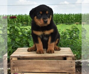 Rottweiler Puppy for sale in GORDONVILLE, PA, USA