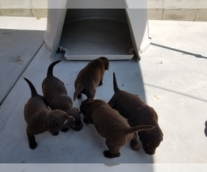 Labrador Retriever Puppy for sale in YORBA LINDA, CA, USA