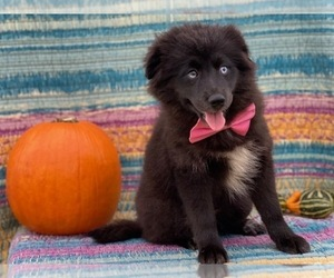 Pomsky Puppy for sale in LANCASTER, PA, USA