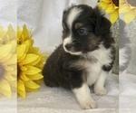 Puppy 7 Miniature Australian Shepherd