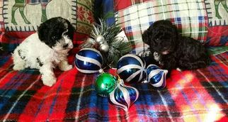 Maltese-Poodle (Toy) Mix Puppy For Sale in GLADYS, VA, USA
