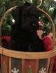Labradoodle Puppy For Sale in CHAPEL HILL, NC,