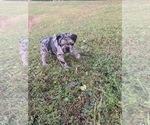 Puppy 2 French Bulldog