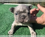 Small #36 French Bulldog
