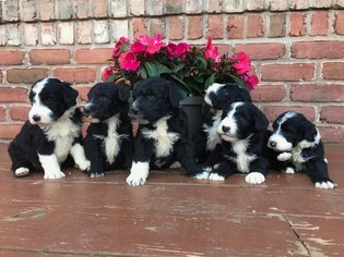 Sheepadoodle Puppy For Sale in ALEXANDRIA, IN, USA