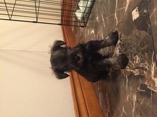 Schnauzer (Miniature) Puppy For Sale in CONNELLSVILLE, PA