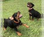 Rottweiler Puppy For Sale in VONORE, TN, USA