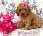 Small #11 Cavapoo-Poodle (Miniature) Mix