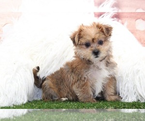 Medium Shorkie Tzu