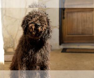 Australian Labradoodle Puppies For Sale Near Hico Texas