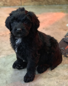 Australian Shepherd-Doodle Mix puppy