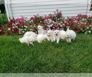 American Eskimo Dog Dog for Adoption in HINDSBORO, Illinois USA