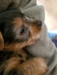 Yorkshire Terrier Puppy For Sale in CHARLOTTESVILLE, VA,