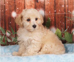 Maltipoo Dog for Adoption in PENNS CREEK, Pennsylvania USA
