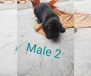 Mastiff Puppy for sale in ALERT, IN, USA