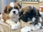 Shih Tzu Puppy For Sale in APOLLO BEACH, FL, USA