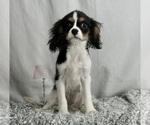 Puppy 7 Cavalier King Charles Spaniel
