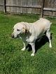 Labrador Retriever Dog For Adoption in GRAY, LA, USA