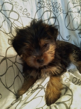 Shorkie Tzu-Yorkshire Terrier Mix puppy