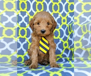 Labradoodle Puppy for sale in WILLOW STREET, PA, USA