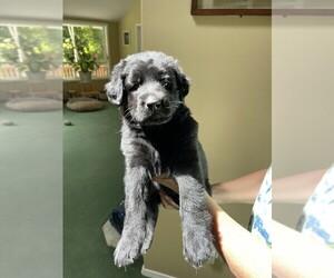 Shepradors Puppy for sale in OLYMPIA, WA, USA