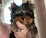 Small #17 Yorkshire Terrier