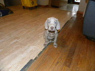 Weimaraner Puppy For Sale in GROVE CITY, OH, USA