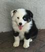 Australian Shepherd Puppy For Sale in GARDNER, KS