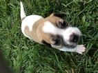 Boglen Terrier Puppy For Sale in MANHATTAN, KS, USA