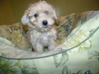 Havanese-Poodle (Toy) Mix Puppy For Sale in PATERSON, NJ, USA