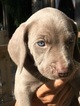Weimaraner Puppy For Sale in WATKINSVILLE, GA, USA