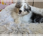 Small #8 Shetland Sheepdog