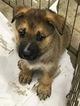 German Shepherd Dog-Labrador Retriever Mix Puppy For Sale in PONCHATOULA, LA, USA