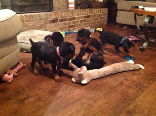 Doberman Pinscher Puppy For Sale in CARRIERE, MS