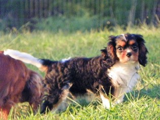 Cavalier King Charles Spaniel Puppy For Sale in HORTON, AL, USA