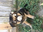 German Shepherd Dog Puppy For Sale in HOLLISTER, CA, USA