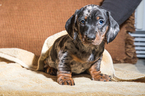 Dachshund Puppy For Sale in CAMBY, IN, USA