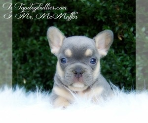 French Bulldog Puppy for Sale in CANTON, Georgia USA