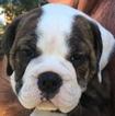 Small #5 Olde English Bulldogge