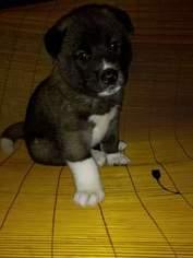 Akita Puppy For Sale in CHRISTIANSBURG, VA, USA