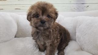 View Ad Maltese Yorkie Poo Mix Puppy For Sale Near California La