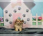 Puppy 8 Pom-A-Poo-Poodle (Toy) Mix