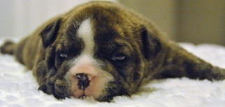 Bulldog Puppy For Sale in LOUISVILLE, KY