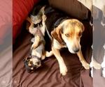 Female AKC Bluetick Beagle