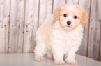 Havanese Puppy For Sale near 43050, Mount Vernon, OH, USA