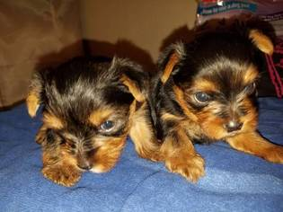 Yorkshire Terrier Puppy For Sale in CARSON, CA, USA
