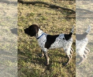 German Shorthaired Pointer Puppy for sale in ARKANSAS CITY, KS, USA